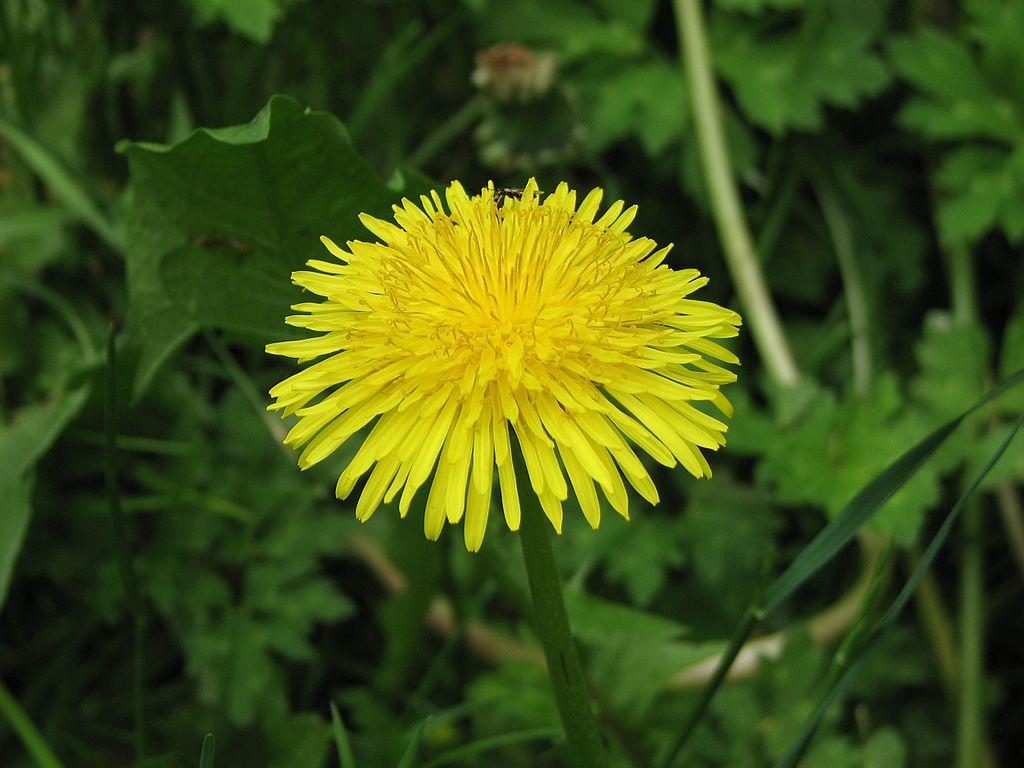 Dandelion lawn weed