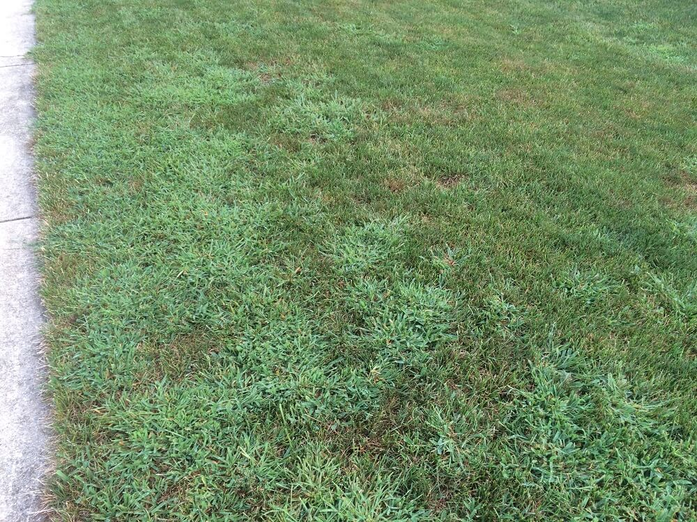 Crabgrass in lawn