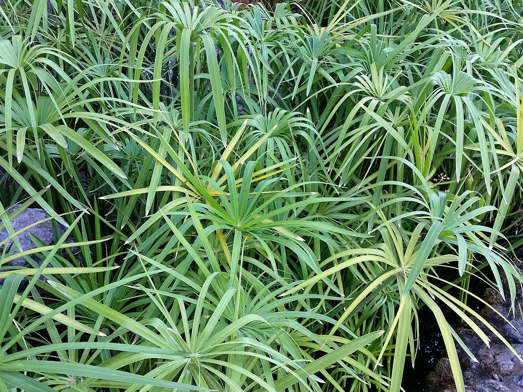 Cyperus Papyrus for landscape groundcover