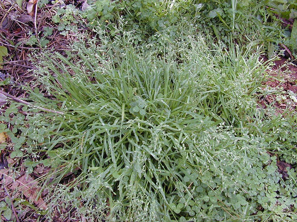 Poa annua lawn weed