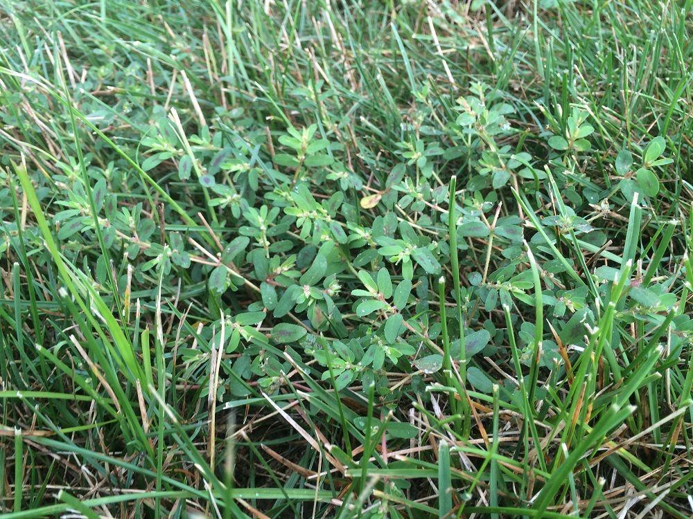 Spurge lawn weed