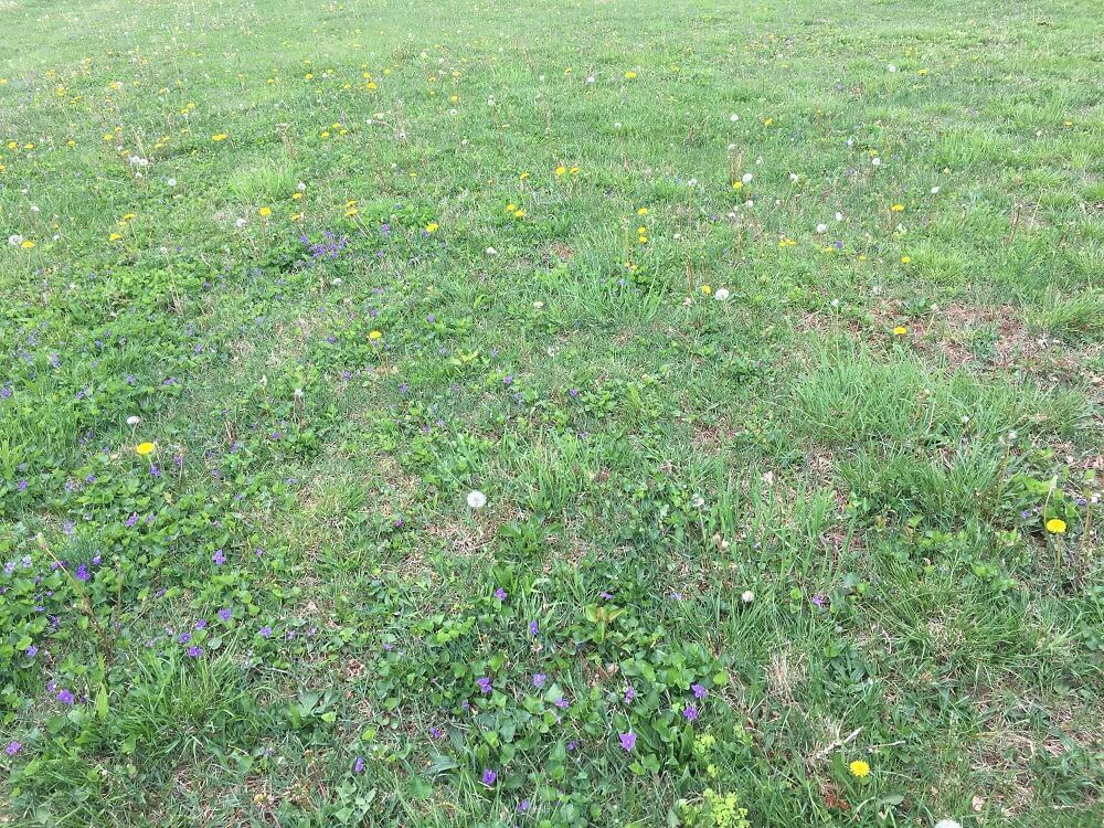 lawn filled with weeds