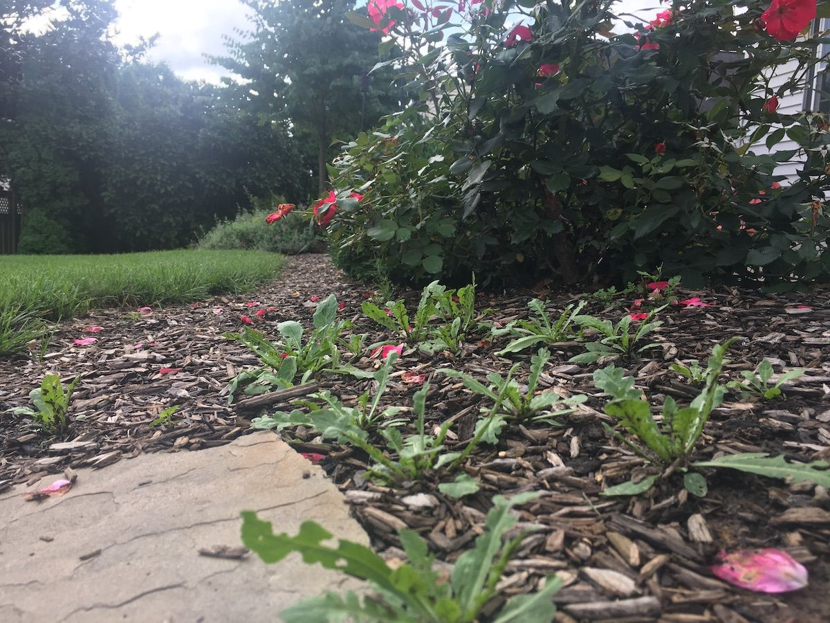weeds growing in landscape bed