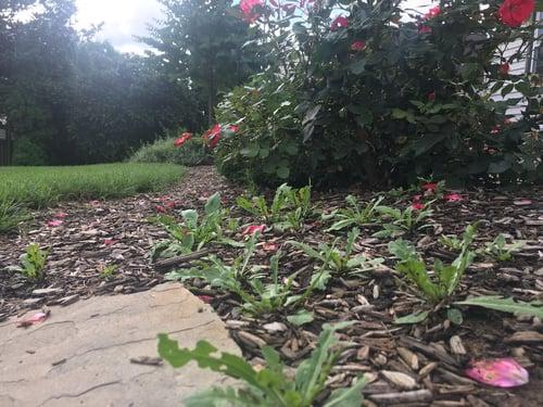 landscaping-weeds