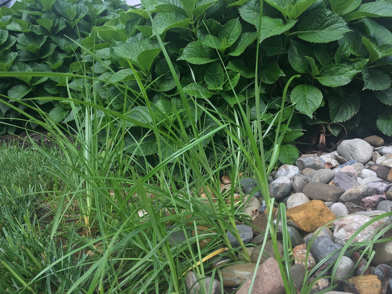 weeds-landscaping-nutsedge