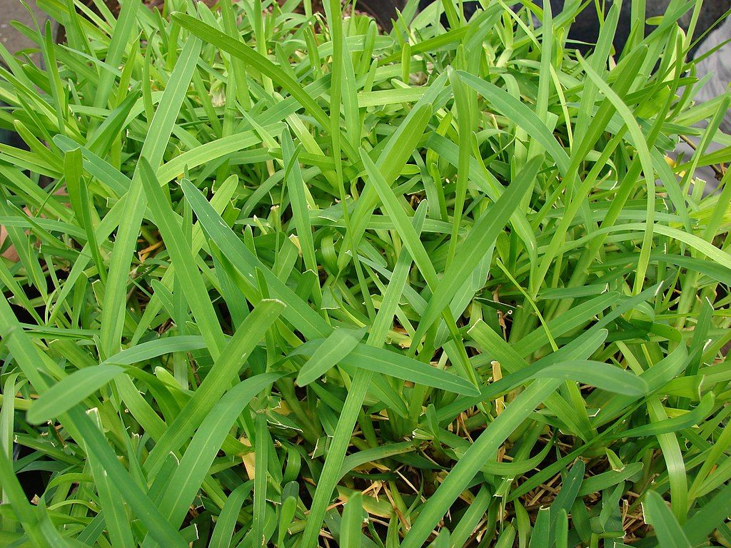 St. Augustine Grass Care Guide For North Texas Homeowners